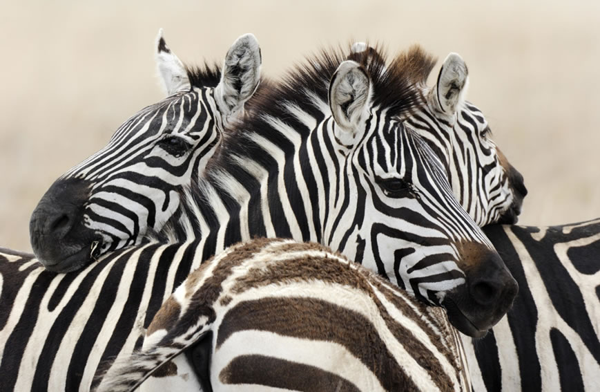 Zebras of the Selous game reserve